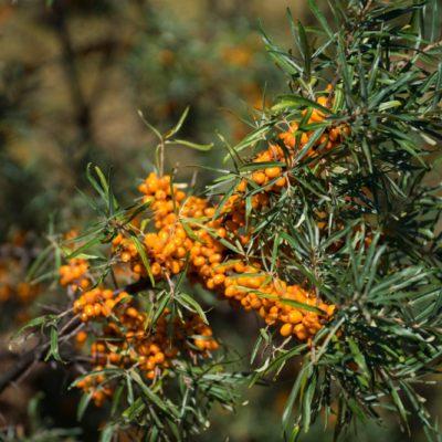 Espino amarillo, rico en omega-7, un potente hidratante y regenerador de piel y mucosas